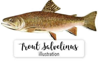 Fish: Vintage Adult Male Brook Trout Salvelinus-Fontinalis 2