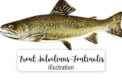 Fish: Vintage Adult Male Brook Trout Salvelinus-Fontinalis 3