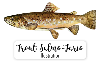 Fish: Vintage  Adult Male Brown Trout Salmo-Fario