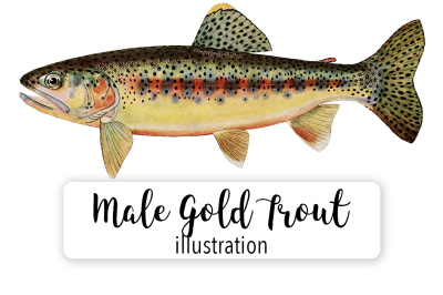 Fish: Vintage Adult Male Gold Trout of Soda Creek