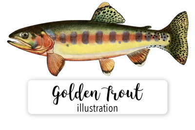 Fish: Vintage Adult Male Golden Trout of Volcano Creek California