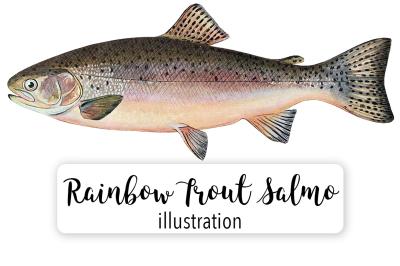 Fish: Vintage Adult Male Rainbow Trout Salmo Irideus
