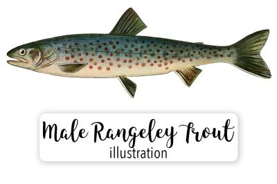 Fish: Vintage Adult Male Rangeley Trout Salvelinus-Oquassa