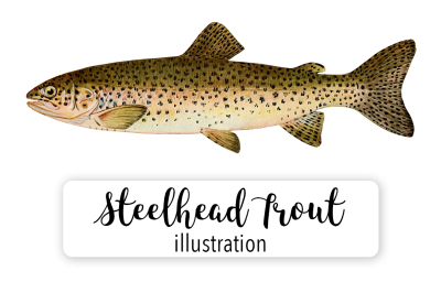 Fish: Vintage Adult Male Steelhead Trout Salmo-Rivularis