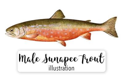 Fish: Vintage Adult Male Sunapee Trout Salvelinus-Aureolus