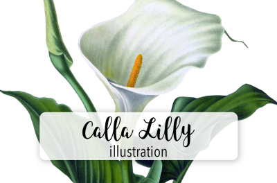 Flowers Vintage White Calla Lilly