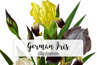 Florals: Vintage German Iris