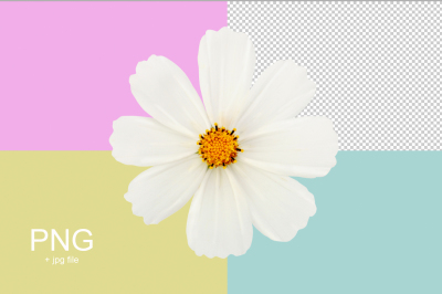 white flower isolated with clipping path 1 png + 1 jpg file