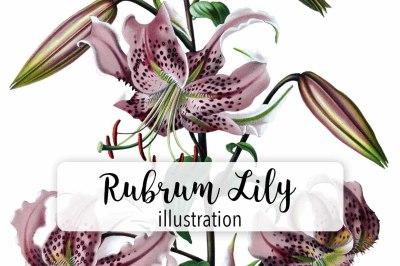 Flowers: Vintage Rubrum Lily