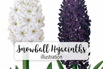 Flowers: Vintage Snowball-Haydn Hyacinths