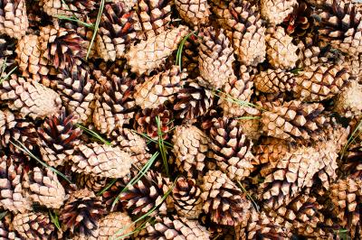 Background of fresh pine cones