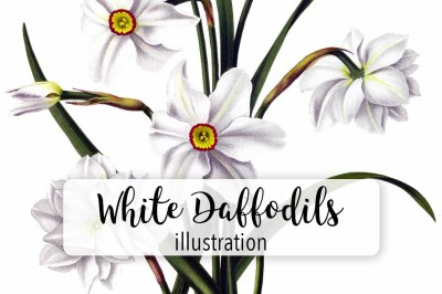 Flowers: Vintage White Daffodils