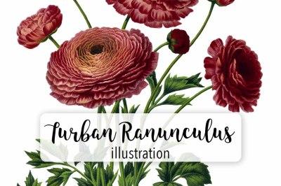 Vintage Watercolor Turban Ranunculus