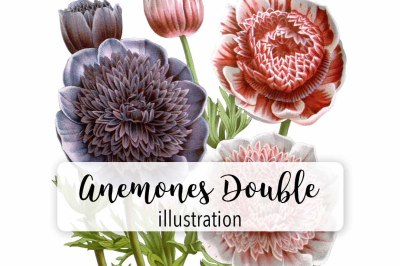 Flowers: Vintage Anemones Double Flowers