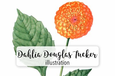 Flowers: Vintage Dahlia Douglas Tucker