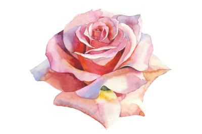 Pink roses realistic PNG watercolor set