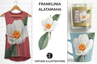Watercolor White Flowers Franklinia Alatamaha