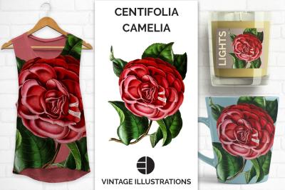 Vintage Watercolor Centifolia Japanese Camelia