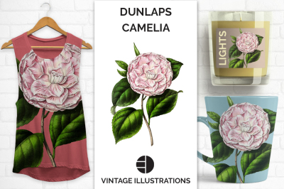 Vintage Watercolor Dunlaps Japanese Camellia