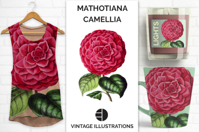Mathotiana Japanese Camellia Vintage Watercolor