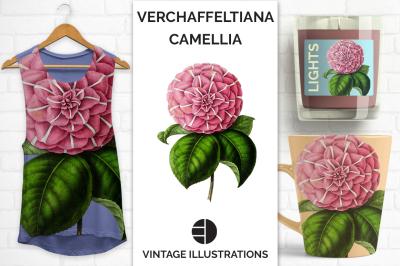 Camellia Vintage Watercolor Verchaffeltiana Japanese Camellia
