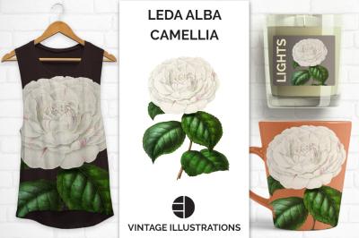 Camellia Vintage Watercolor Camellia Leda Alba Japanese