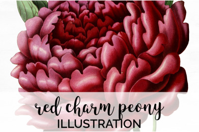 Peonies Clipart Red Flowers