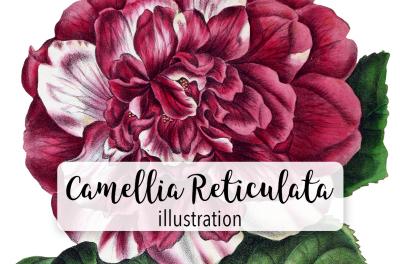 Camellia Reticulata Vintage Watercolor
