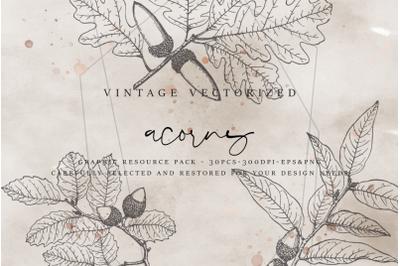 VintageVectorized - Acorns Clipart