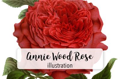 Rose Vintage Watercolor Red Annie Wood