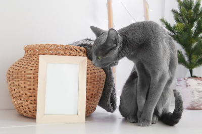 Russian Blue Cat with basket, blanket, christmas tree and empty frame