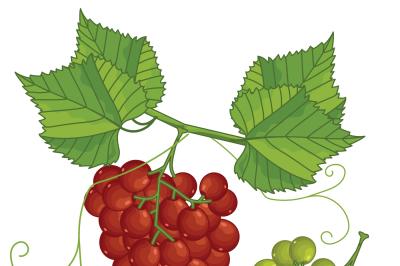 Grape Bunch, Grape Leaves, Grape Vector.