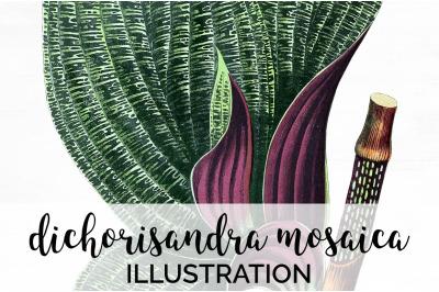 dichorisandra mosaica