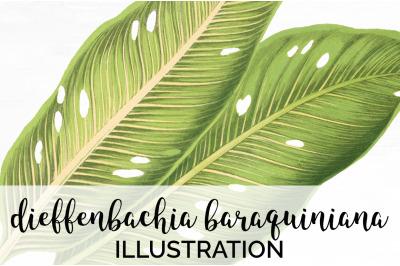 dieffenbachia baraquiniana