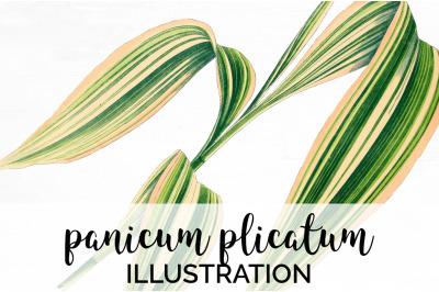 panicum plicatum