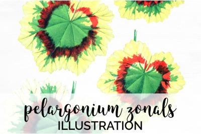 pelargonium zonals