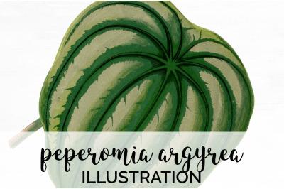 peperomia argyrea