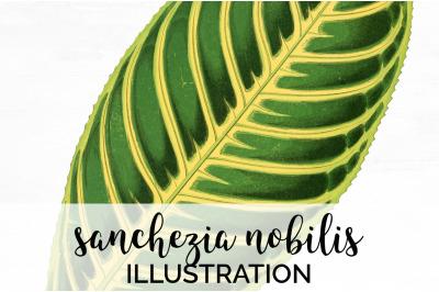 sanchezia nobilis