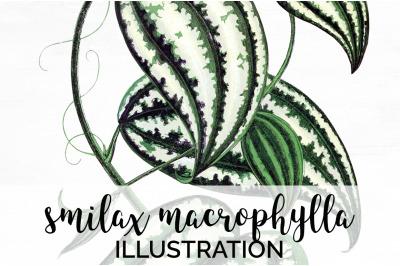 smilax macrophylla