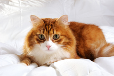 fluffy red-headed cat