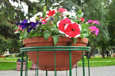 Petunia flowers in an elegant vase flower pot in Park