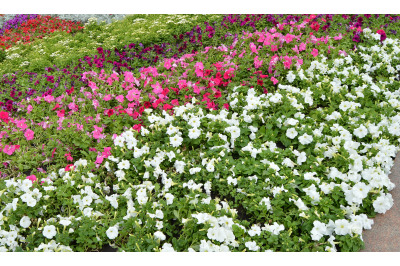 Colorful flowerbeds Petunia colorful flowers, Beautiful background