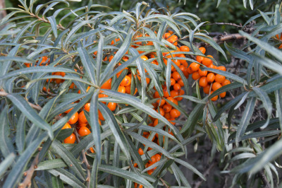 Branch of ripe orange sea-buckthorn berries, the concept of healthy fo