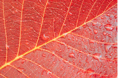 red autumn leaf background