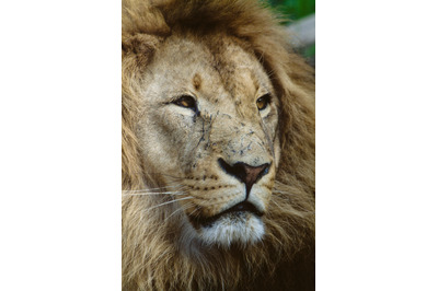 Lion #1 Nature Stock Photography