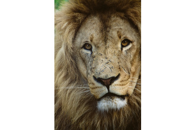Lion #2 Nature Stock Photography