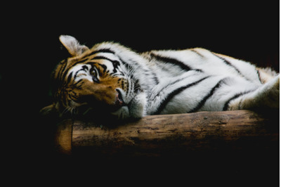 Tiger #2 Nature Stock Photography