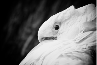 Parrot #3 Black and white Nature Stock Photography