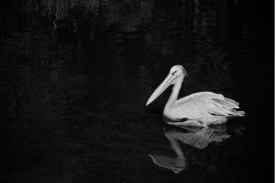 Bird #5 Black and white Nature Stock Photography