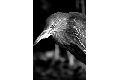 Bird #10 Black and white Nature Stock Photography